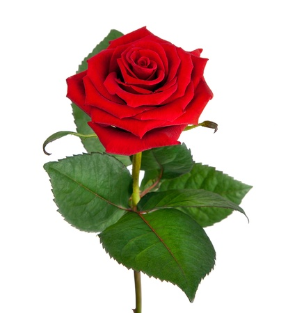 Photo for Single beautiful red rose isolated on  white background  - Royalty Free Image
