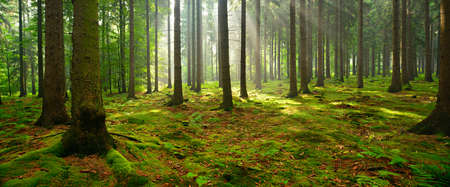Photo pour Spruce Tree Forest, Sunbeams through Fog illuminating Moss and Fern Covered Forest Floor, Creating a Mystic Atmosphere - image libre de droit