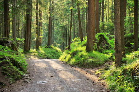 Photo for Footpath through Sunny Forest of Spruce Trees - Royalty Free Image