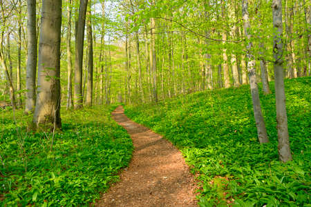 Photo for Winding Footpath through the Sunny Forest of Beech Trees at Spring, Fresh Green Leaves - Royalty Free Image