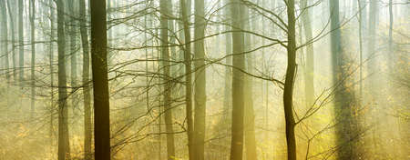 Photo for Atmospheric Forest of Beech Trees with Sunlight through Morning Fog - Royalty Free Image