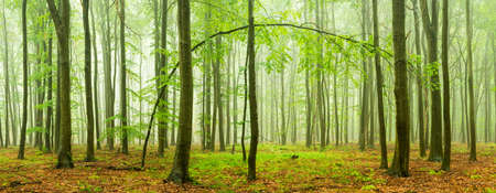 Photo for Beech forest panorama with rain and fog - Royalty Free Image