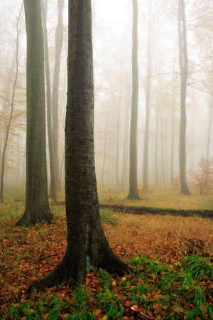 Photo for Beech Tree Forest in Autumn, Fog and Rain - Royalty Free Image