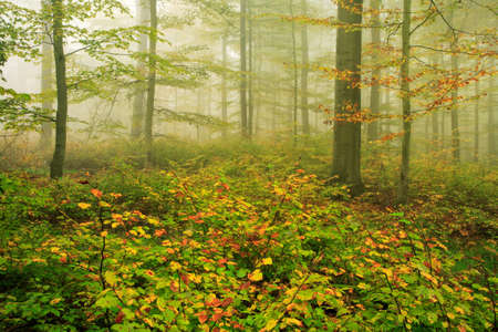 Photo for Foggy autumnal beech tree forest - Royalty Free Image