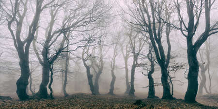 Photo for Haunted Forest of Spooky Gnarled Beech Trees in Thick Fog - Royalty Free Image