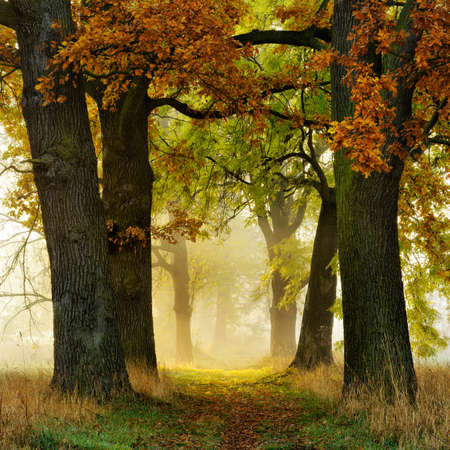Photo for Avenue of Oak and Ash in Autumn, Footpath Through Morning Fog with Sunlight - Royalty Free Image
