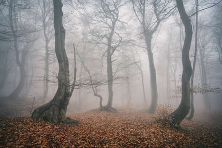 Photo for Foggy Forest of Gnarled Beech Trees in Autumn, faded color - Royalty Free Image