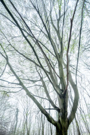 Photo for High-key background of beech tree in forest with delicate green leaves in spring, double exposure - Royalty Free Image