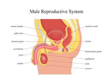 Illustration pour Male reproductive system.Vector illustration. - image libre de droit