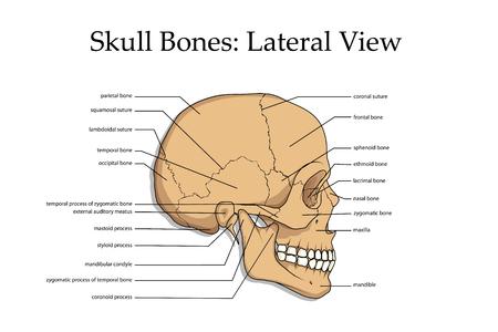 Illustration pour Human skull lateral view poster. - image libre de droit