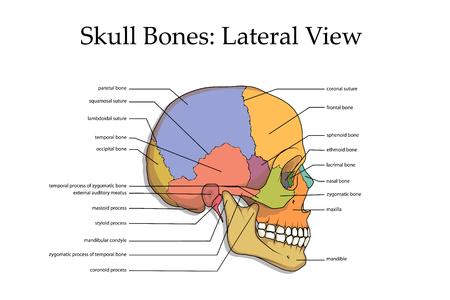 Illustrazione per Human skull lateral view poster. - Immagini Royalty Free