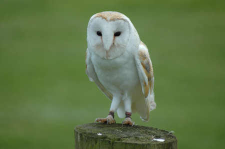 Photo for A Barn Owl on a Wooden Post - Royalty Free Image