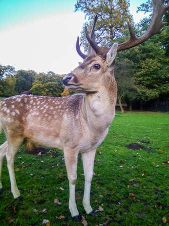 Photo pour Adult Red Deer Stag in autumn park - image libre de droit