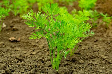 Photo pour young green carrot tops growing on a close-up of a garden - image libre de droit