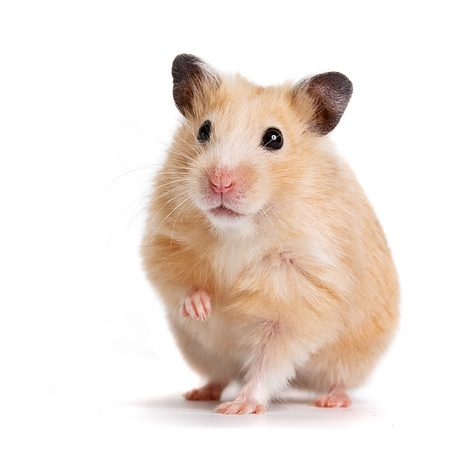 Photo pour  hamster  - image libre de droit