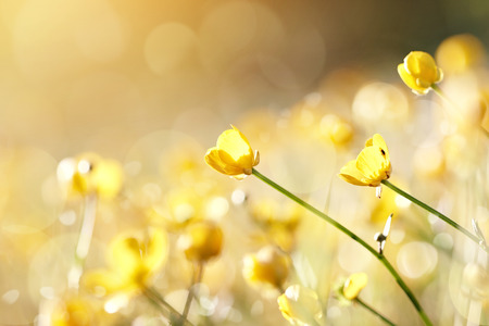 Foto de Yellow flowers of a buttercup on a meadow lit with the sun. - Imagen libre de derechos