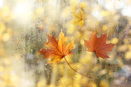 wet window with drops after rain and three maple leaves / golden autumn