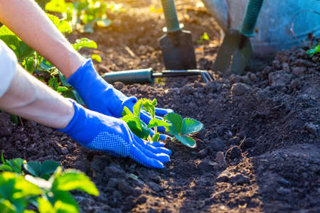 Photo pour planting strawberries in the garden - hands holding a seedling, watering can and shovel in the background  - image libre de droit