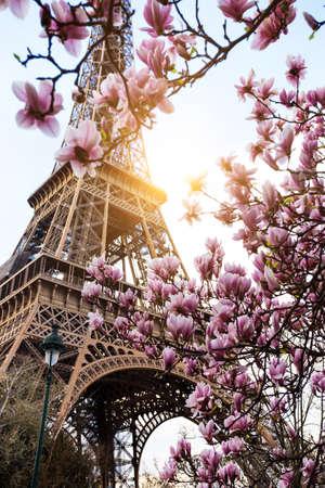 Photo pour Blossoming magnolia against the background of the Eiffel Tower - image libre de droit