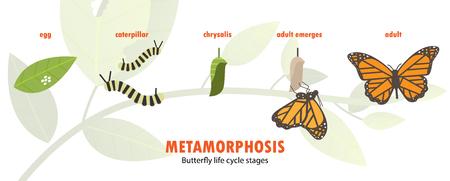 Illustration pour Butterfly life cycle metamorphosis. - image libre de droit