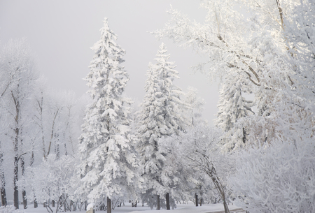 Foto de Snow covered fir trees. Winter frost forest. Cold december moning in the park. - Imagen libre de derechos