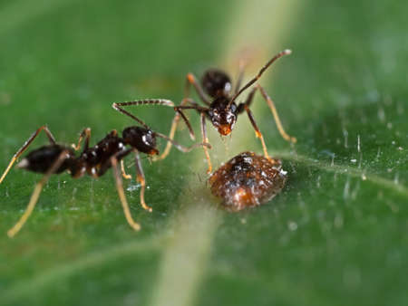 Photo pour Macro Photography of Tiny Black Garden Ant with Scale Insect on Green Leaf - image libre de droit