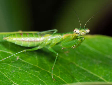 Photo pour Macro Photography of Praying Mantis Camouflage on Green Leaf, Selective Focus at Head - image libre de droit