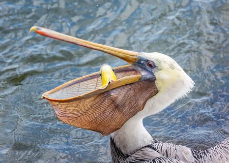 Photo pour A Pelican Eating a Fish for Lunch. Color Image, Day - image libre de droit