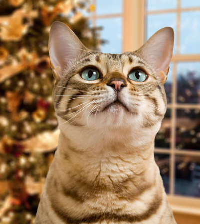 Small bengal kitten waiting pensively for santa claus by out of focus christmas tree