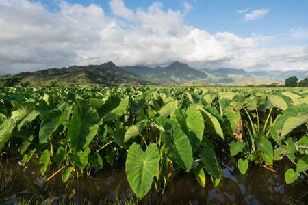 Photo for Hanalei Valley on island of Kauai with focus on Taro plants and mountains in background near Hanalei, Kauai, Hawaii, United States of America - Royalty Free Image