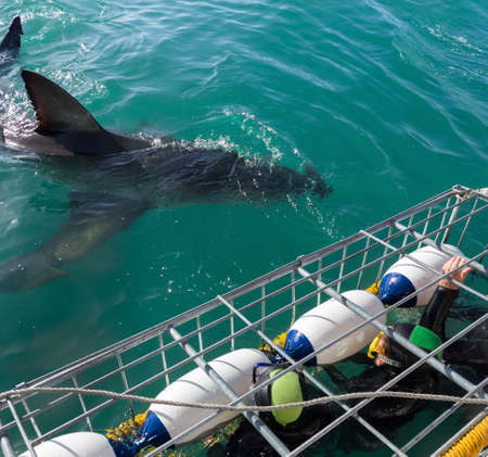 Photo for Great White Shark next to diving cage with divers off the Ganbaai coast, Cape Town, South Africa - Royalty Free Image