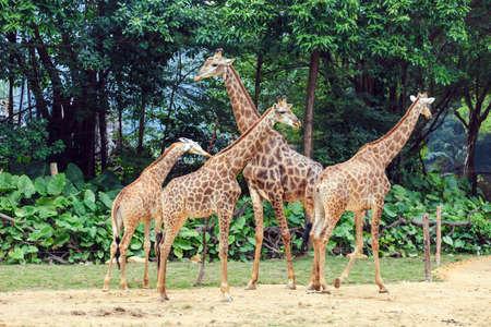 Photo pour Lovely Giraffe - image libre de droit