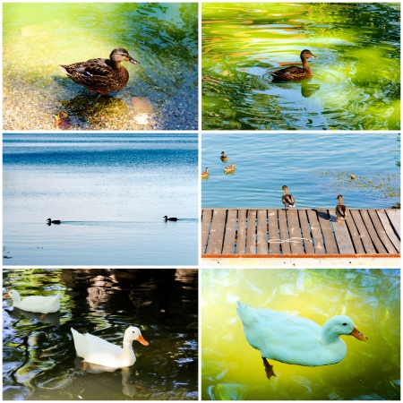 Domestic ducks collage