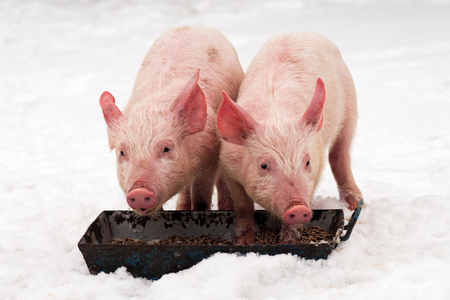 Photo pour Two young pigs are eating at winter on the snow on white background. - image libre de droit
