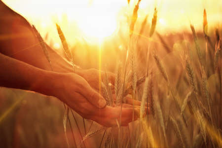 Foto de Wheat ears in the hand. Harvest concept - Imagen libre de derechos