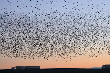Foto de Migration of a large flock of birds on the highway - Imagen libre de derechos