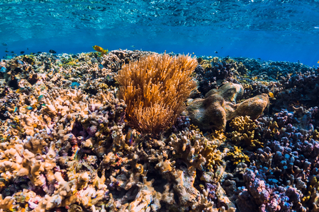 Photo for Corals and tropical fish in underwater blue ocean - Royalty Free Image