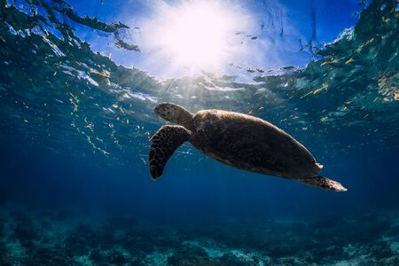 Photo for Turtle glides in blue ocean. Green sea turtle underwater - Royalty Free Image