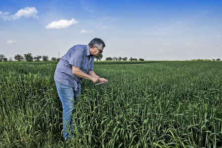 Photo for The agronomist or farmer in the wheat field controls the yield quality. - Royalty Free Image