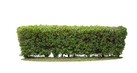 Photo for green hedge on isolated - Royalty Free Image