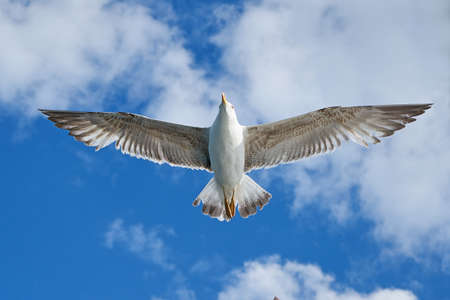 Photo pour Single seagull flying with spread wings - image libre de droit