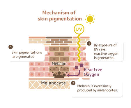 Illustrazione per Mechanism of skin pigmentation - Immagini Royalty Free