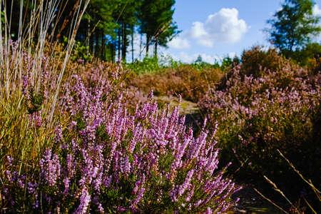 Foto de Heather moorland in Kempen forests, North Brabant, the Netherlands, autumn days - Imagen libre de derechos
