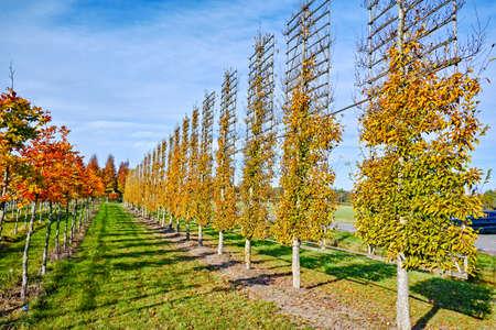 Photo pour Big espaliered decorative alder trees growing on nursery plantation in Netherlands - image libre de droit