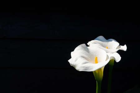 Foto de White calla lily plant with flowers on black background, dark key concept - Imagen libre de derechos