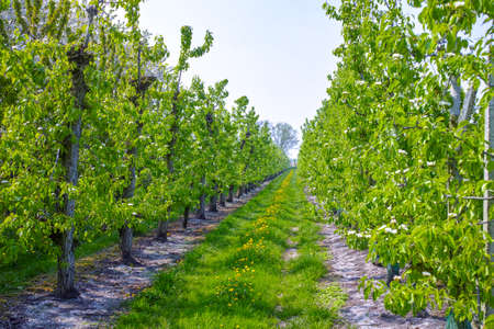 Photo pour White pear tree blossom, spring season in fruit orchards in Haspengouw agricultural region in Belgium, landscape - image libre de droit