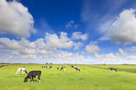 cows grazing in a fresh green field