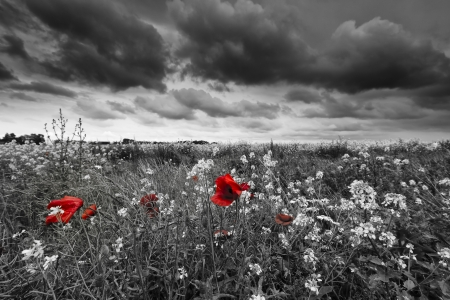 Photo for Poppies in a field in black and white - Royalty Free Image