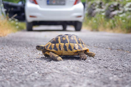 Photo for bright land tortoise turtle running on asphalt road after the car - Royalty Free Image