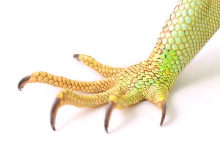green iguana claw